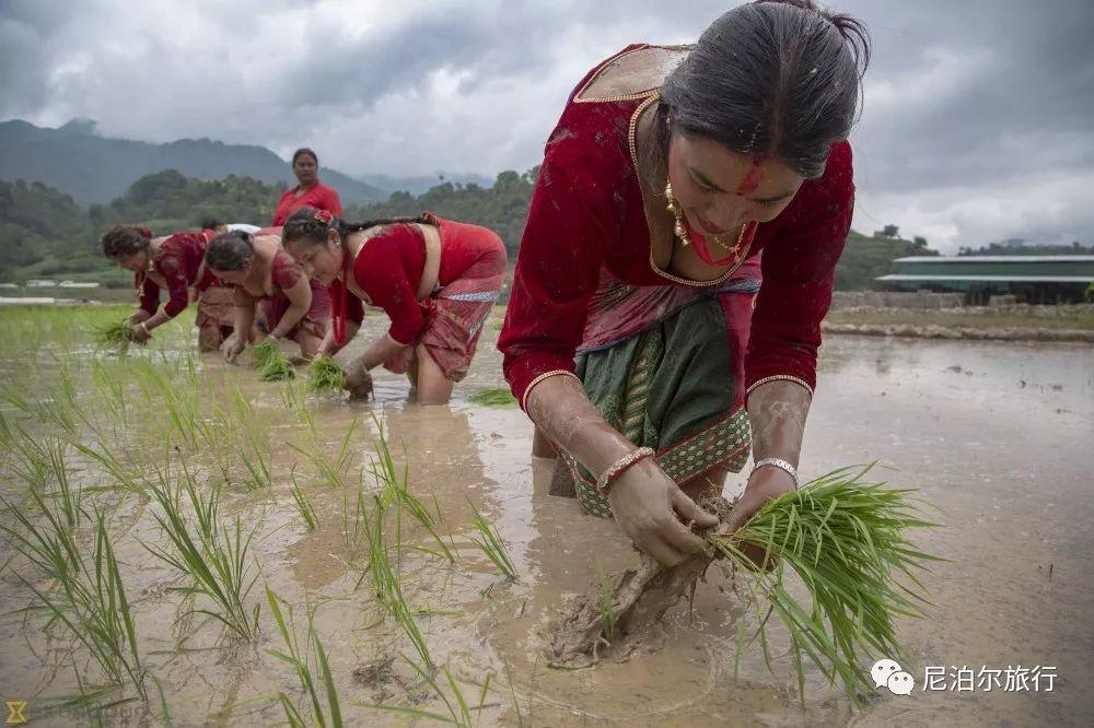 """尼泊尔稻米节:我在""""泥巴里""""等你"""