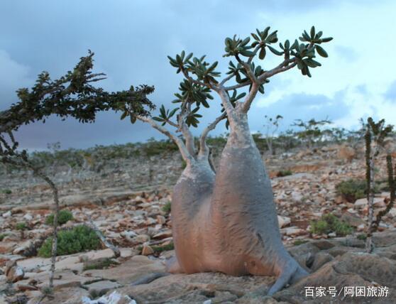 非洲的生命之树,一次能储存2吨水,引进国内后的用途令人心酸