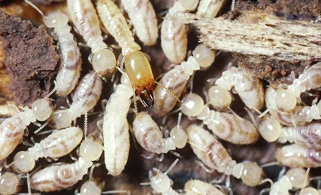 家里的白蚁是怎么来的
