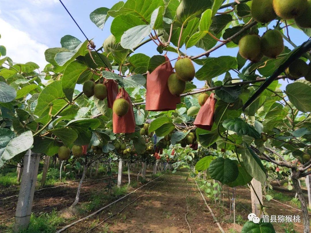 【农事指导】7月份猕猴桃果园管理技术要点