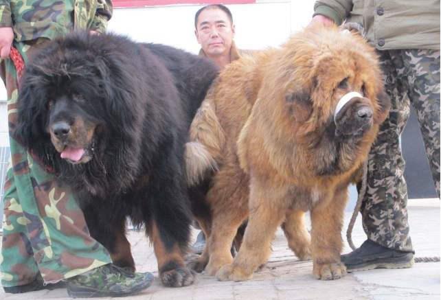 肌肉男牵出一只狗,比藏獒还要霸气,看到同类就抓狂场面差点失控