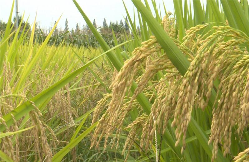 """非洲杂交水稻""""超常发挥"""",缓解200万饥饿危机,当地:感谢中国"""