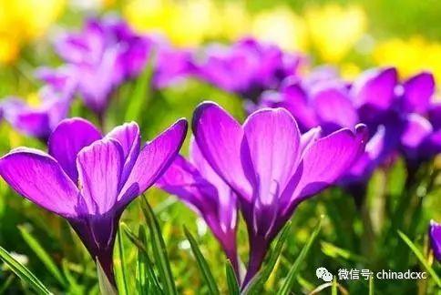 藏红花可减少血栓形成,糖尿病人也很适合吃!
