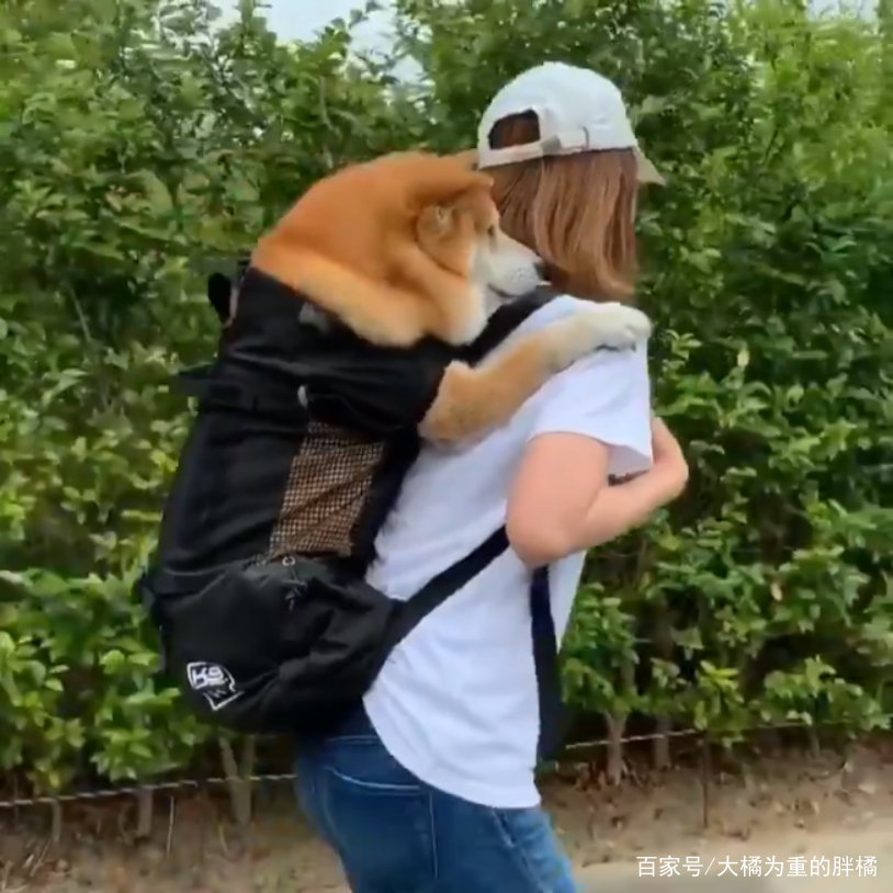 宠主背着柴犬去散步,可不是为了哗众取宠,而是想让柴犬余生幸福
