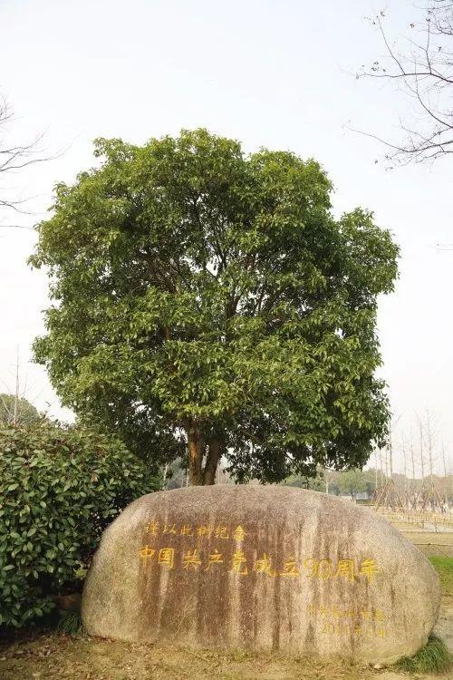树龄已有651年的银杏就在嘉兴的这里……_沈家
