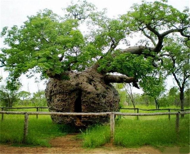 这棵古树周长14米,因树洞大被充当监狱,如今是最吸引人的景点