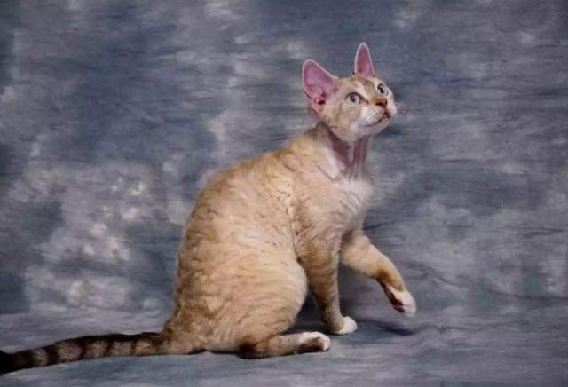 什么品种猫咪性格温顺粘人图片