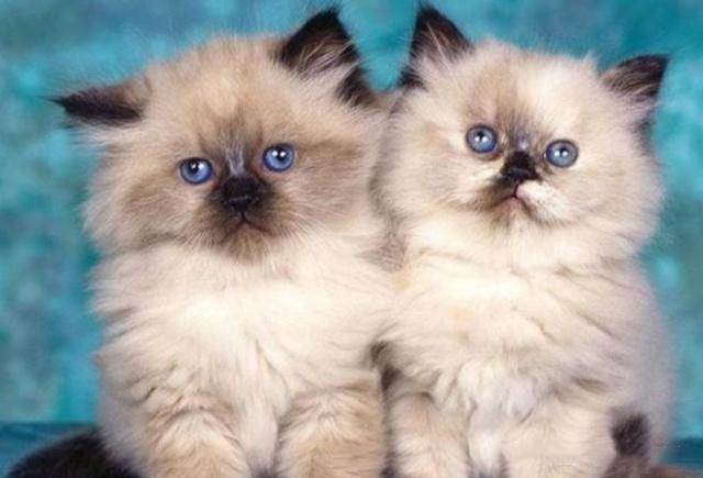 粘人的猫咪品种图片图片