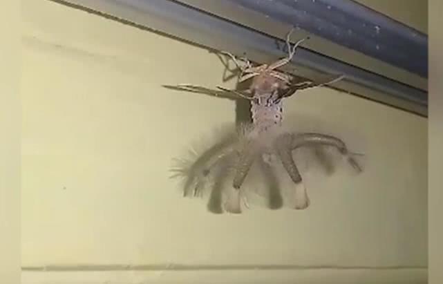 一只奇怪生物夜里爬过天花板,男子惊恐之余拍下其样子求助
