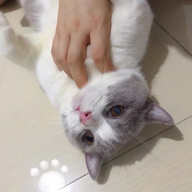 猫是适合一天喂几顿还是适合24小时放着猫粮在碗里?