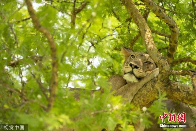 """<b>狮子""""挂""""树上午睡 晃晃悠悠好不惬意</b>"""