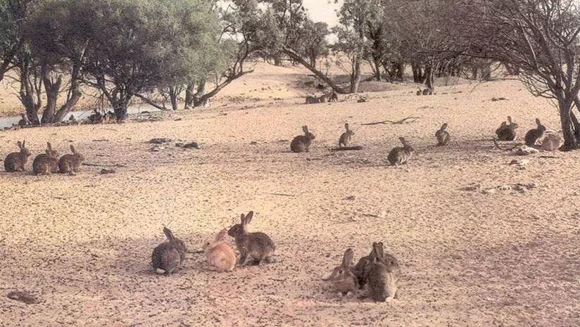 """英国人把24只兔子带到了澳大利亚,结果兔子们""""疯""""了(图2)"""