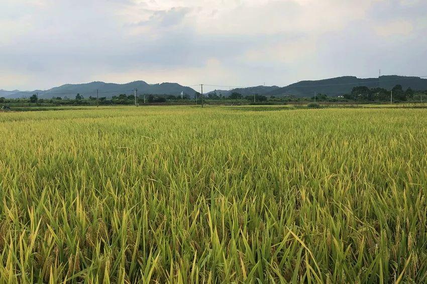 <b>风吹稻浪,美呆了!高明早稻成熟了,农民迎来大丰收</b>