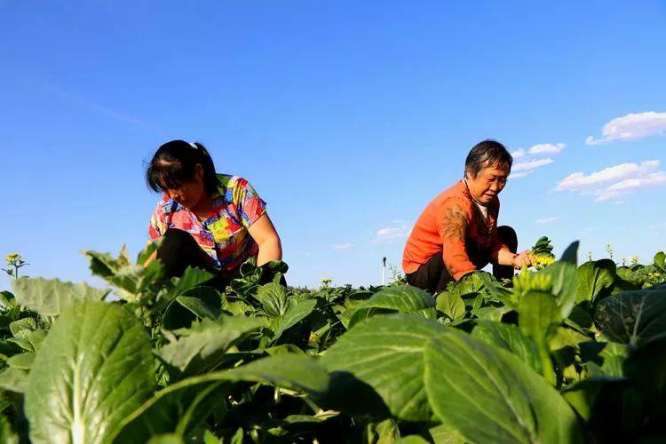 走进蔬菜基地   体验幸福采摘!民勤县采菜比赛报名了!