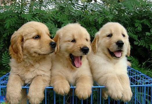 普贝斯:幼犬可以吃成犬狗粮吗,幼犬吃什么狗粮好