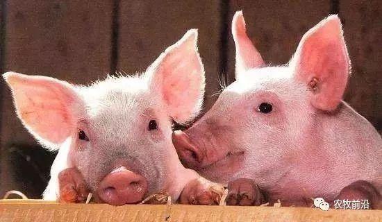 官方调研:仅18%养户打算补栏!今年猪肉可能是天价?