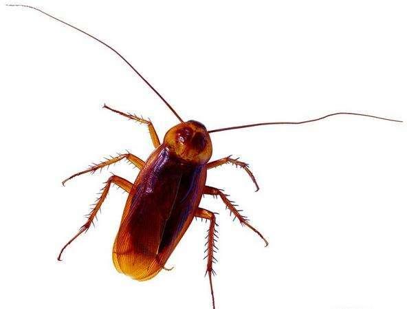 消灭蟑螂方法很多,要想彻底清除却非常难,但若能做到这点就可以
