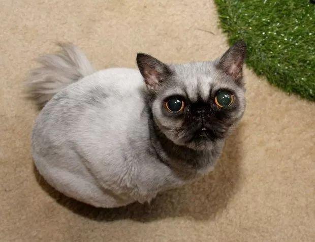 普贝斯:我发誓它真的是波斯猫