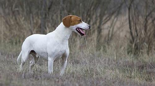 狗主人不解:猎犬上火便秘怎么办吃什么药