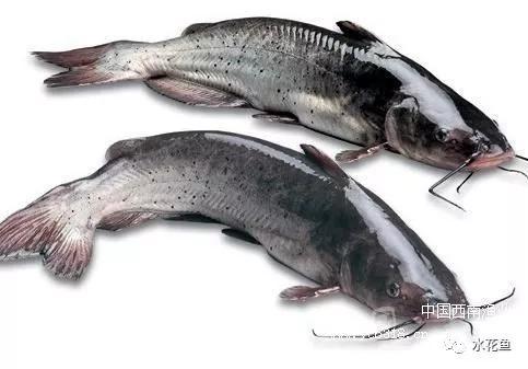 斑點叉尾鮰(鉗魚)腸敗血癥及其防控措施