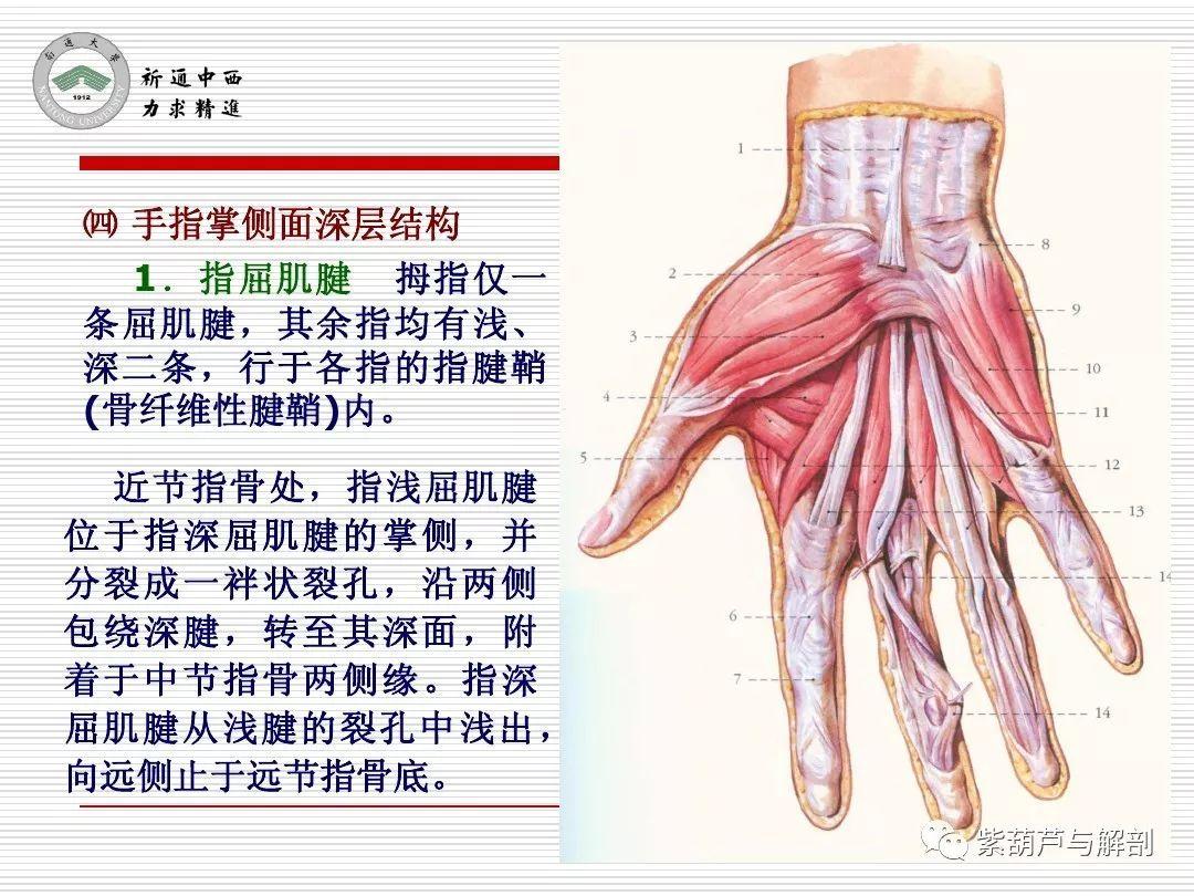 局解 腕前区 手掌和手指掌侧面解剖