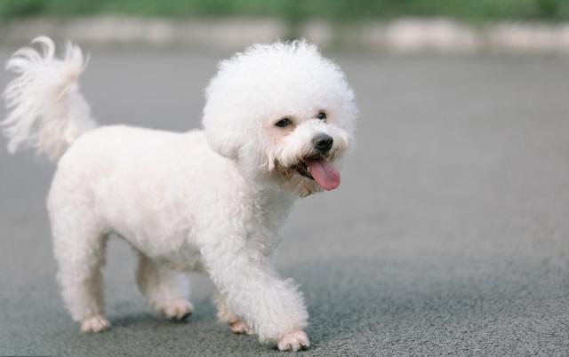 普贝斯:狗狗也能假孕骗吃骗喝