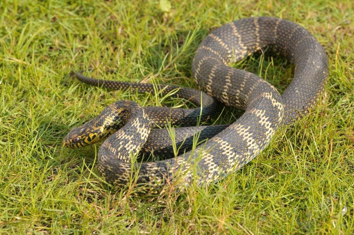 铜头蝮蛇有几个头