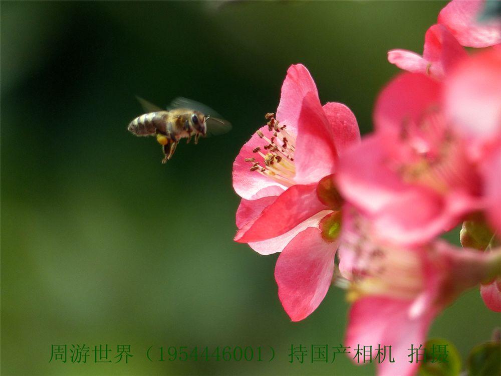 辛勤的小蜜蜂采花蜜图片