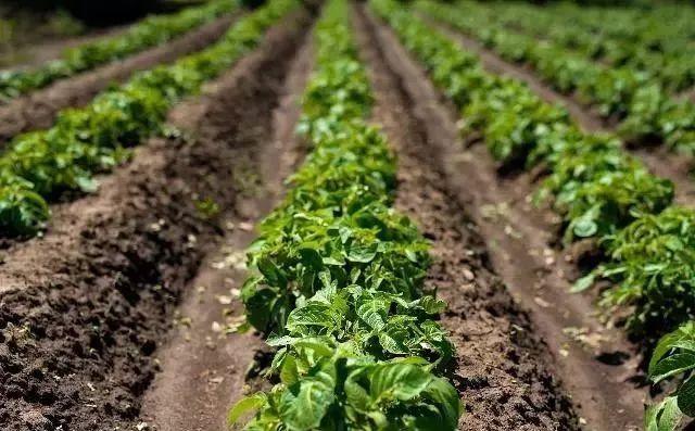 马铃薯适宜的光照、湿度是多少?