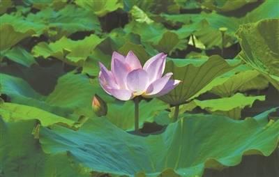沙田这个湿地公园荷花大片盛开,太美了!