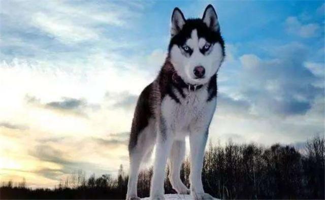 下面5种狗狗见人就亲,最好不要养,偷狗贼最喜欢偷它们