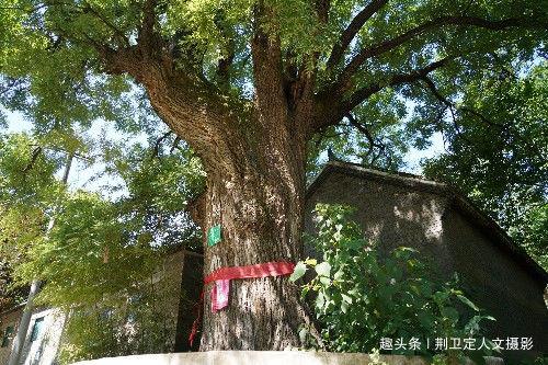 6旬大妈祖祖辈辈守护千年古槐树,她说1树2个神仙,看看怎么回事