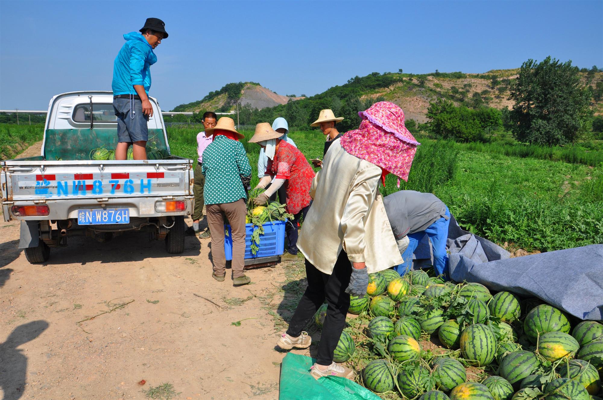 青岗岭家庭农场的西瓜熟了