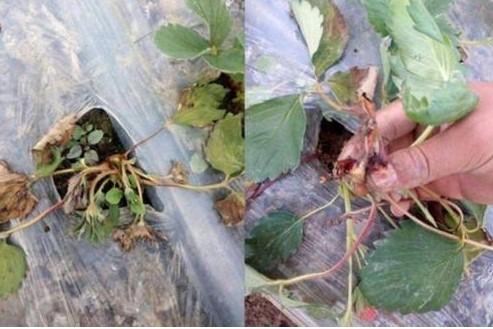 又到了草莓种植时期、草莓常见的病害有哪些呢?该怎样用药预防呢