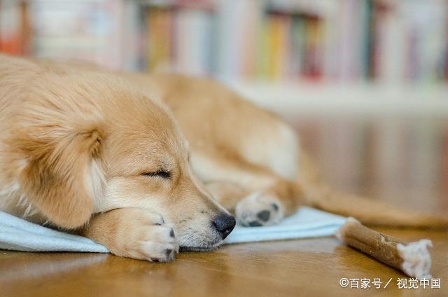 狗狗在主人身边睡觉,这样做的原因有3个,太幸福了!