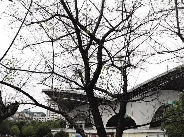 武陵文化广场红梅树成光杆杆 市民呼吁尽快施救