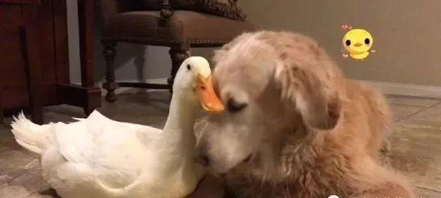 大金毛和鸭子相处得极其融洽,每天的日常非常让人羡慕了!