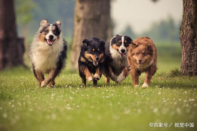 都说要遛狗,但这5种狗真的很难遛,泰迪也在榜上?