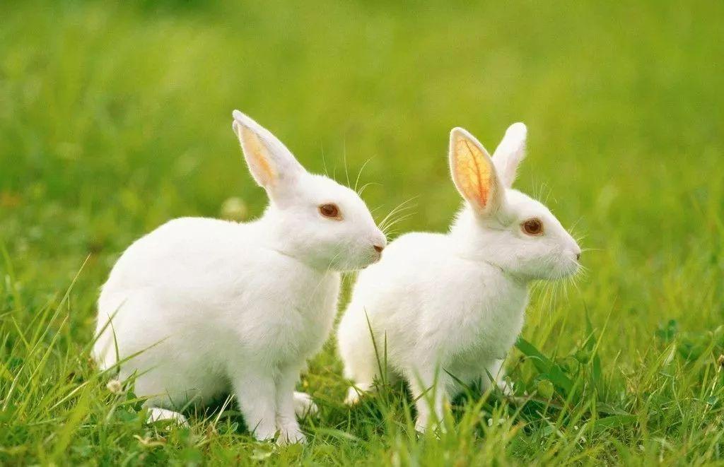 <b>兔子行情虽好,切莫杀鸡取卵</b>