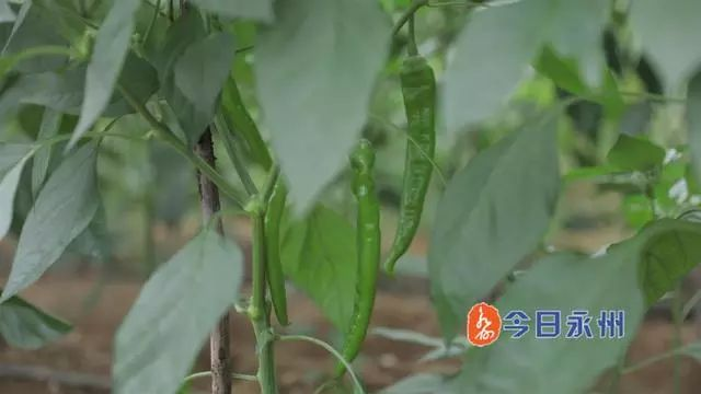 """显火!永州这种""""神秘""""辣椒180元一斤,还供不应求"""