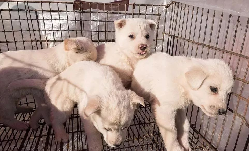 韩国釜山最大狗肉市场被关,获救狗狗却不敢走出笼子:求求你,不要吃我!