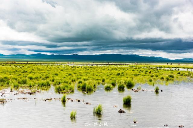 四川若尔盖有个高原湖泊,湖面上尽是青草,场景壮观!