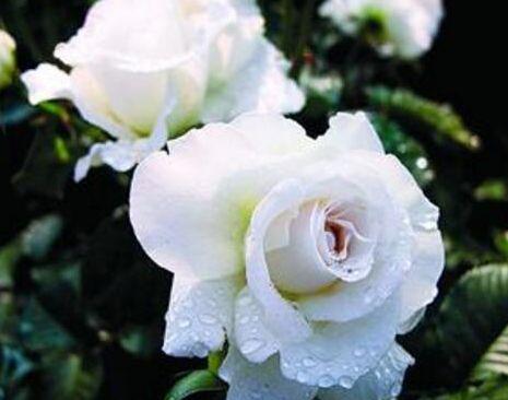 蔷薇花花语