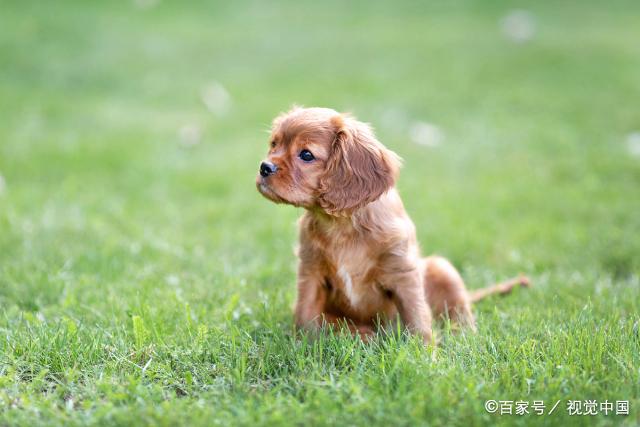 女不养泰迪!关于泰迪犬的三个谣言,你能够承受得了吗?