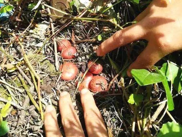 回忆 泸州人小时候常吃的野果 快去挖
