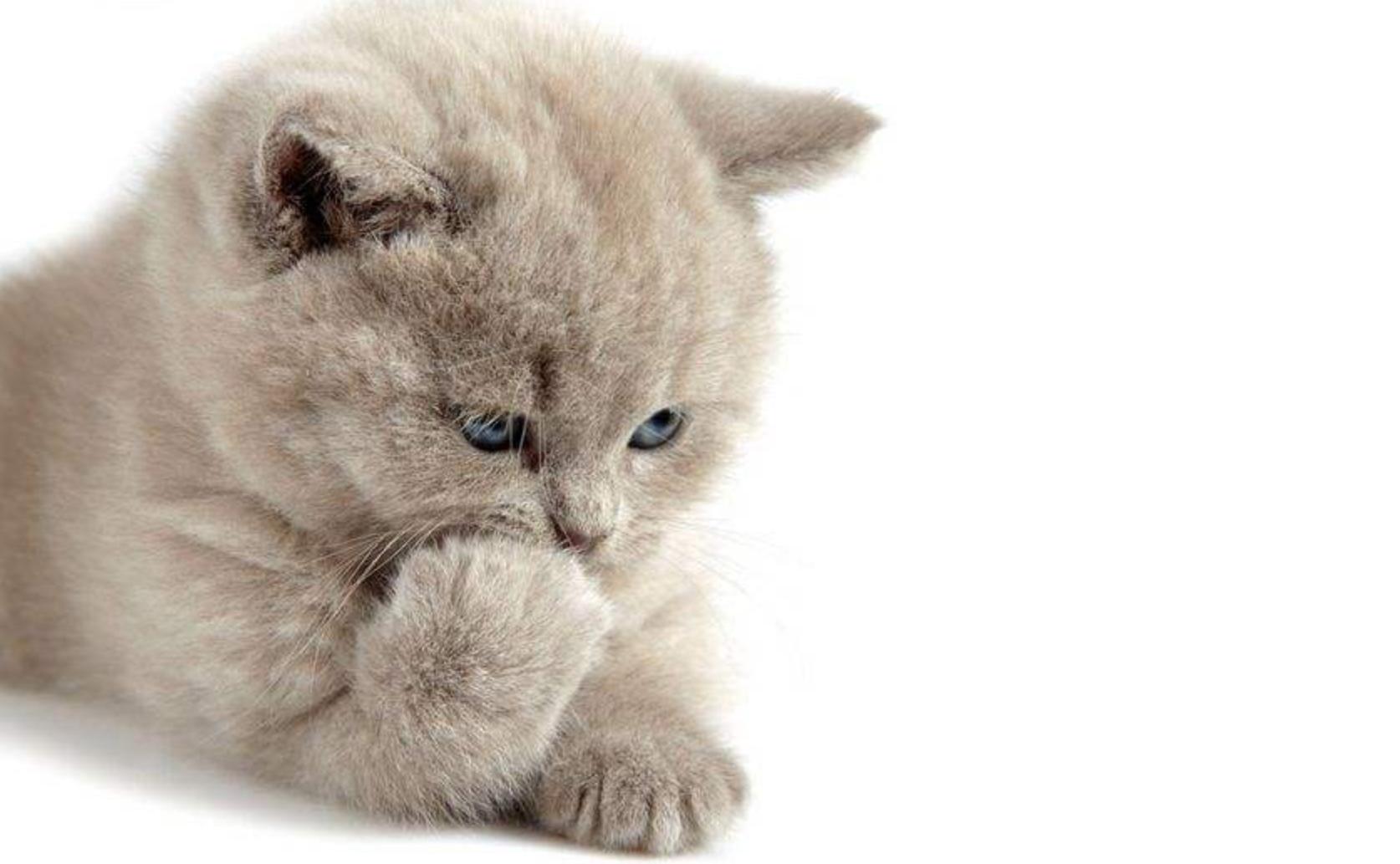 波斯猫长什么样的