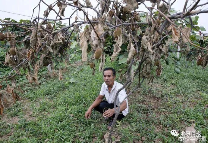350多棵猕猴桃树一夜被砍,谁干的?