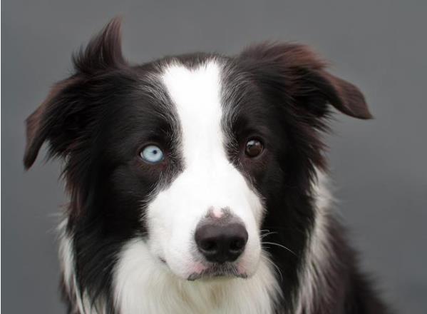 普贝斯:边牧犬为什么聪明?