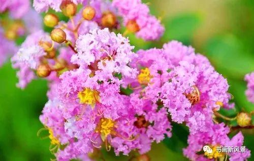 一树紫薇逐日开