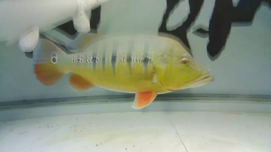 (虫纹巴西亚)   四十五公分三文虎一条,四纹虎一条,九十公分的普铁鱼和长须铁甲各一条,六十五公分短身球鲨一条.